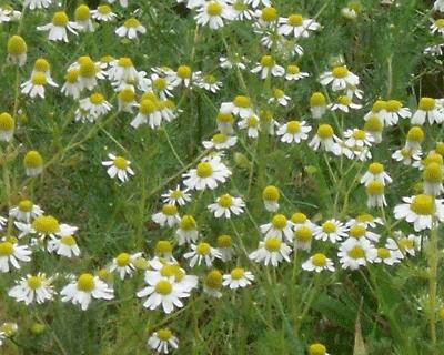 Kamille bloemen, 60 gr