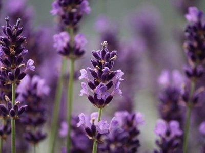 Badolie Lavendel-Melisse