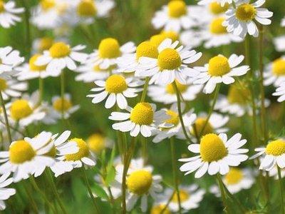 Kamille bloemen
